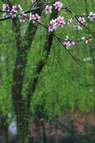 cherry_blossoms_green_background